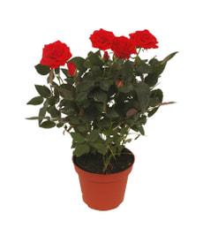Roses en pot rouge 10.5cm