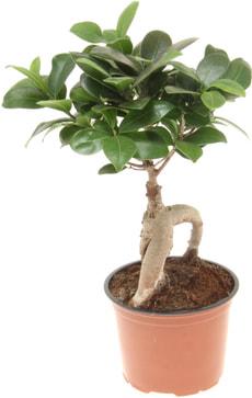 Ficus Microcarpa Ginseng 12cm