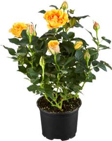 Roses pot jaune / oramge 10.5cm