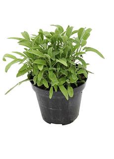 Salvia porpora-verde 14cm
