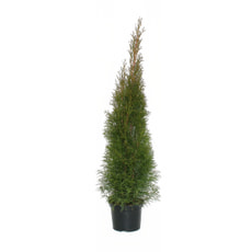 Thuja Smaragd H80-100cm