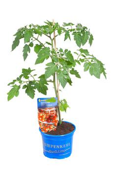 Tomate cerise prune Bio