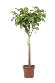 Ficus carica Stamm