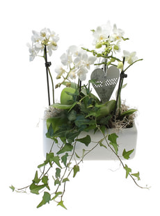 Phalaenopsis-Schale