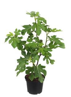 Ficus rot