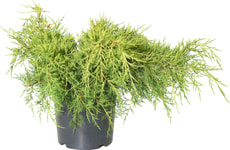 Juniperus chinensis Old Gold 7l