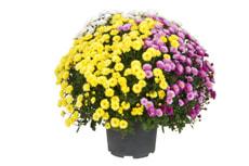 Chrysanthemum Trio 26cm