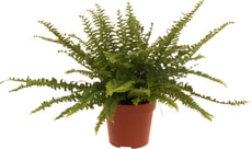Nephrolepis Green Lady 12 cm