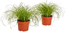 Cyperus zumula