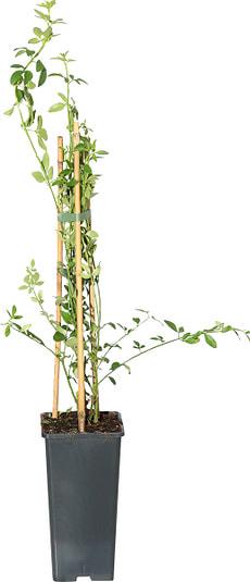 Jasminum nudiflorum 14cm