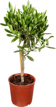 Oliven Stamm