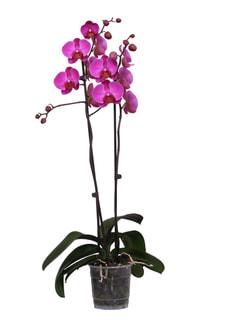 Phalaenopsis 2 Pousses violet
