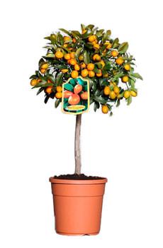 Kumquat tipo