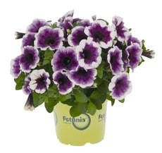 Petunia Potunia12cm