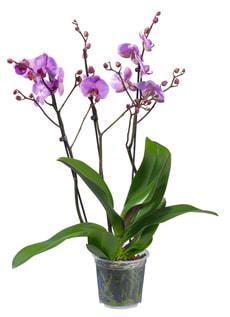 Phalaenopsis 3 Pousses 15cm