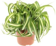 Chlorophytum Bonny
