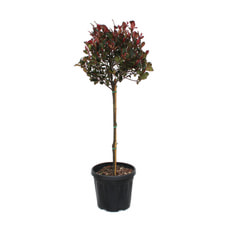 Photinia Little Red Robin, alberello, 12 l