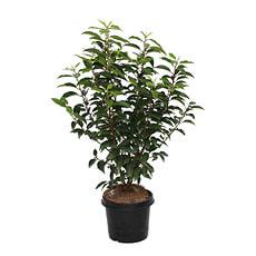 Laurier-cerise Angustifolia H50-60cm