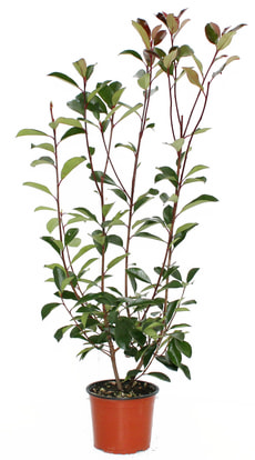 Photinia Red Robin H19cm
