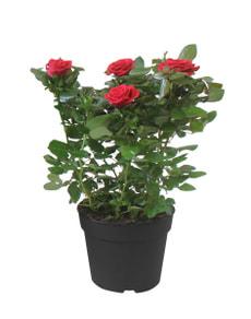 Roses en pot 17cm