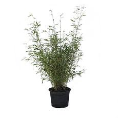 Bambus Fargesia 5l