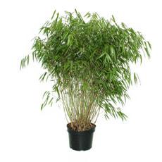 Bambus Fargesia 10l