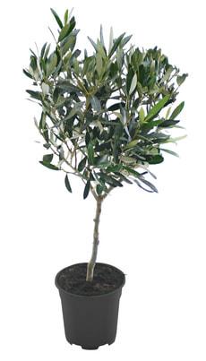 Oliven Stamm 14cm