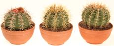 Mélange de cactus