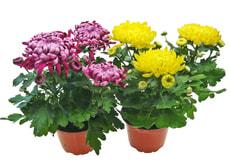 Chrysanthèmes décoratifs, 3+ 12cm