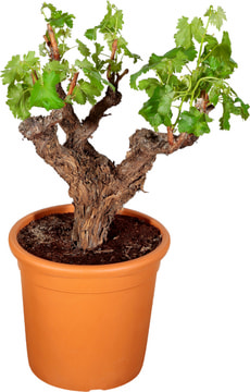 Vitis Solitaer buisson