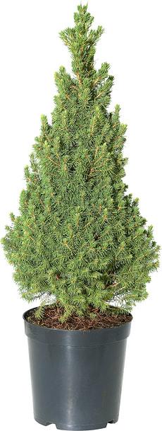 Picea glauca Conica 7l