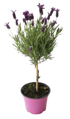 Lavendel stoech.St.