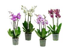 Phalaenopsis 4 Pousses 17cm