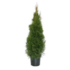 Thuja Smaragd H125-150cm