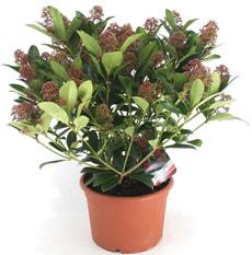 Skimmia japonica Rubella 12 cm