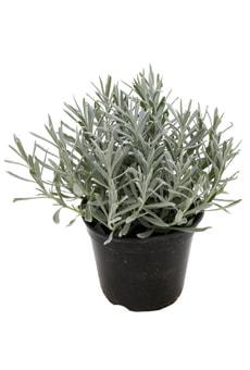 Lavanda angustifolia 14cm