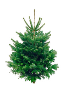 Sapin de Nordmann 150-175cm Selection