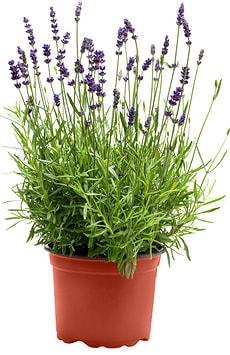 Lavendel Angustifolia Hidcote