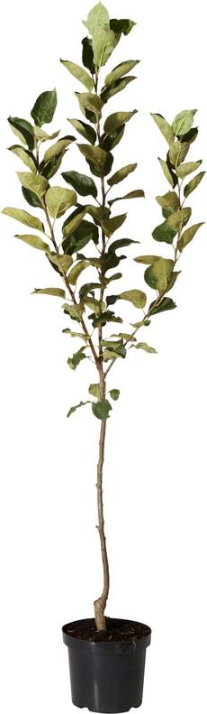 Pomme Belle de Boskoop