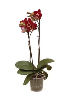 Phalaenopsis Debora 2 Triebe 12cm