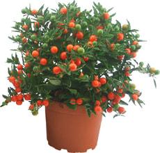 Solanum pseudocapsicum 13cm