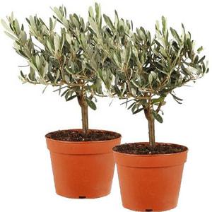 Olivenbäumchen Stamm (im Duo)
