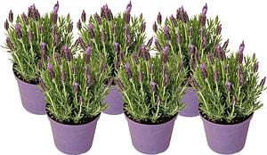 Lavendel stoechas (6er Set)