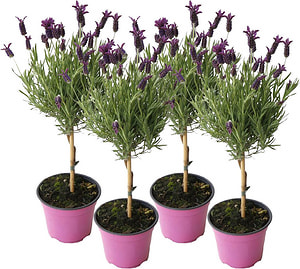 Lavendel stoechas Stamm (4er Set)