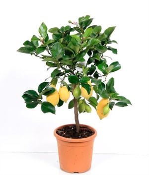 Zitronen Stamm