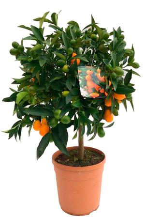 Kumquat Stamm