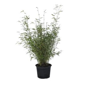Bambus / Fargesia