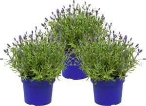 Lavendel Hidcote XL (Trio)