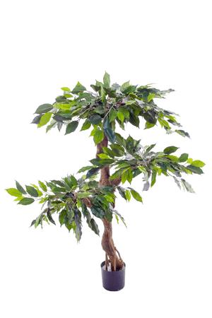 Ficus Stamm gedreht
