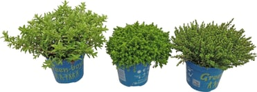 hebe armstrongi mix green boys 12cm kaufen bei do it garden. Black Bedroom Furniture Sets. Home Design Ideas